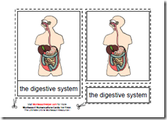 Human Digestive System Flash Cards 1