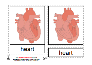 Parts of the Human Heart (Image from Montessori Helper)
