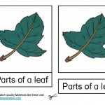 Montessori Materials Parts of a Leaf Nomenclature Cards Age 3 to 6