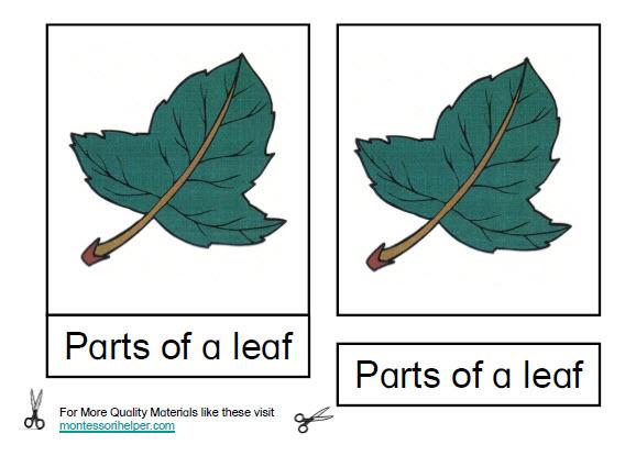 Montessori Materials Parts of a Leaf Nomenclature Cards ...