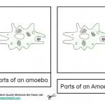 Montessori Materials – Amoeba Nomenclature Cards :