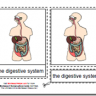 Montessori Materials, Parts of the Human Digestive System, Age 3 to 6