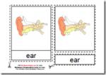 Montessori Human Ear Materials, Age 3 to 6