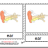 Montessori Human Ear Materials, Age 3 to 6